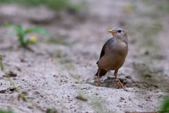 Chestnut-Tailed Starling Stock Image