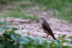 Chestnut-Tailed Starling Stock Images