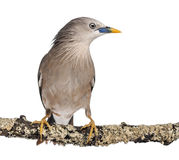 Chestnut-tailed Starling perched on a branch Royalty Free Stock Images