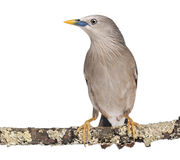 Chestnut-tailed Starling perched on a branch - Sturnia malabarica Stock Photo