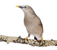 Chestnut-tailed Starling perched on a branch - Sturnia malabarica Royalty Free Stock Image