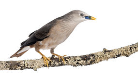 Chestnut-tailed Starling perched on a branch - Sturnia malabarica Stock Image