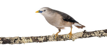 Chestnut-tailed Starling perched on a branch - Sturnia malabarica Stock Photography