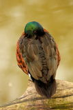 Chestnut Teal Anas castanea Duck Royalty Free Stock Images