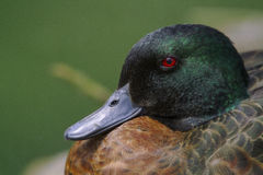 Chestnut Teal (Anas castanea) Stock Photos