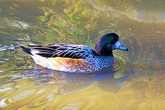 Chestnut teal 2, in North West wetlands. Taken to capture the lively alertness and glistening orange feathers of a Chestnut teal, living within managed wetlands royalty free stock photo