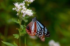 Chestnut Tiger Butterfly Stock Photo