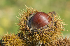 Chestnut. A chestnut on the top of a pile coming out of its shell Stock Photography