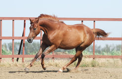 Chestnut trakehner horse. In motion Royalty Free Stock Photos