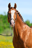 Chestnut Trakehner horse stallion portrait. In summer Royalty Free Stock Images