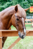 Chestnut trakehner stallion Royalty Free Stock Photos