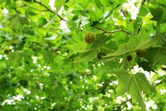 Chestnut tree. Crown of a chestnut tree royalty free stock photos