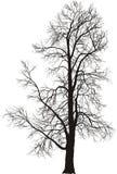 Chestnut tree Stock Image