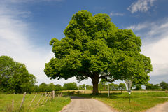 Chestnut tree Stock Photos