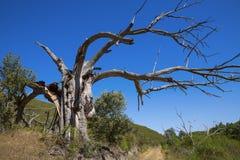 Free Chestnut Tree Stock Photography - 26046752