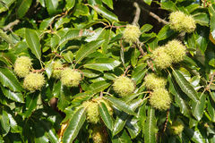 Chestnut tree Royalty Free Stock Photography
