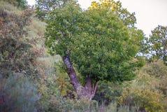 Chestnut tree Royalty Free Stock Image