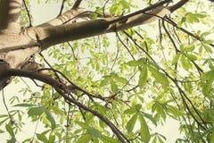 Free Chestnut Tree Stock Photography - 53317792