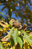 Chestnut tree. Close-up of a chestnut tree branch with a chestnut Stock Photos