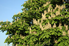 Chestnut tree Royalty Free Stock Image