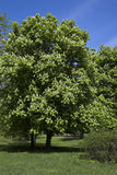 Chestnut tree. In park Royalty Free Stock Photos
