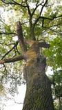Chestnut tree (Aesculus hippocastanum). Old chestnut tree in the park of Arad city - Romania Stock Image