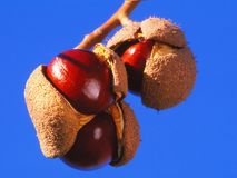 Horse Chestnuts ready to harvest Royalty Free Stock Photos