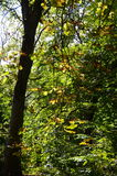 A chestnut tree in autumn Stock Photography
