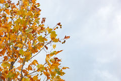 Chestnut tree in autumn with dry leaves Stock Photo