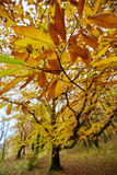Chestnut tree in the autumn Royalty Free Stock Photography