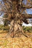 Chestnut tree in autumn Stock Photo