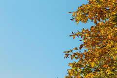 Chestnut tree in autumn. Chestnut tree with yellow autumn leaves on light blue sky background Stock Image