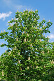 Chestnut tree Stock Photo