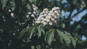 Chestnut tree. Blooming chestnut. Swaying Branches Inflorescence chestnut in slow motion. A Chestnut tree. Blooming chestnut stock video footage