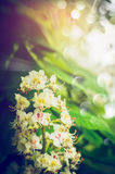 Chestnut tree blooming over foliage and sunshine background. Stock Photo