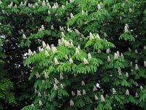 Chestnut tree blossom. Fullframe. springtime Royalty Free Stock Images