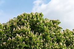 Chestnut tree in blossom Royalty Free Stock Photo