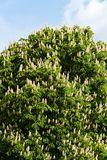 Chestnut tree in blossom Royalty Free Stock Images