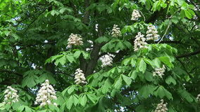 Chestnut tree blossom in springtime. Chestnut tree blossom in springtime stock video footage