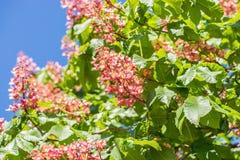 Chestnut tree , blossoming chestnut flowers in springtime , red or pink chestnut flower stock images