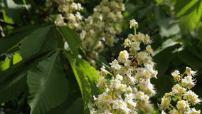 Chestnut tree with blossoming spring flowers. Blooming chestnut - Stock Video. Chestnut tree with blossoming spring flowers - Stock Video stock video