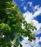 Chestnut tree blossoms. Chestnut tree flowering triangular blossoms against stock image