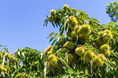 Chestnut tree branch with chestnuts. Royalty Free Stock Photo