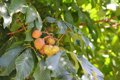 Chestnut on tree. Branch in garden close up stock photography