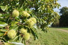 Chestnut tree British countryside. Closeup of sweet chestnuts growing on a tree in British countryside Royalty Free Stock Photo