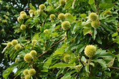 Chestnut Tree with Chestnuts Royalty Free Stock Photography