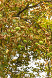 Chestnut tree Stock Images