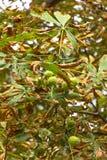 Chestnut tree Royalty Free Stock Photo