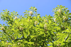 Chestnut tree Chromakey. Blooming chestnut. Swaying Branches Inflorescence chestnut. Chroma Key Alfa Sunny day. The branches of th Royalty Free Stock Images