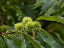 Chestnut tree close up with green unriped chestnuts Royalty Free Stock Images